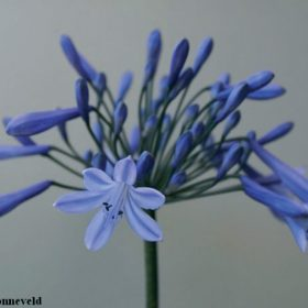 Agapanthus Doctor Brouwer