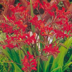 Crocosmia Lucifer AGM