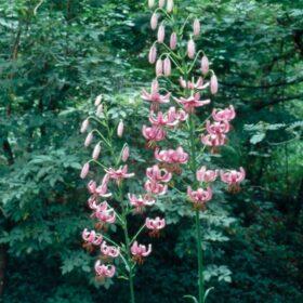 Lilium martagon AGM