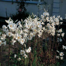 Lilium candidum AGM