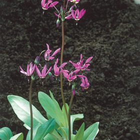 Dodecatheon meadia AGM
