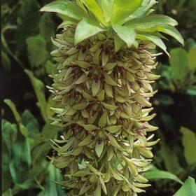 Eucomis bicolor AGM