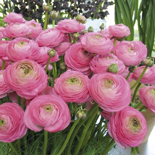 Ranunculus Aviv Rose