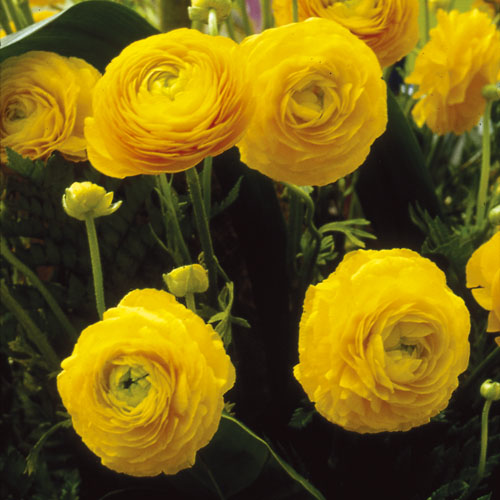 Ranunculus Aviv Yellow