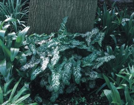 Arum italicum subsp Marmoratum AGM