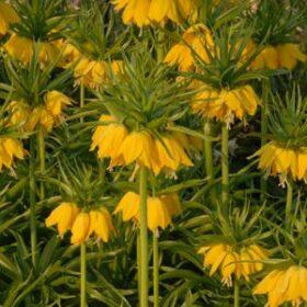 Fritillaria imperialis Lutea AGM