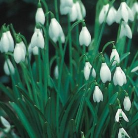 Galanthus nivalis (Single Snowdrops) AGM
