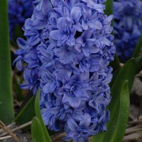 Hyacinth Outdoor Blue Tango