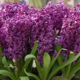 Hyacinth Prepared Purple Sensation