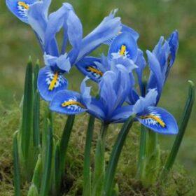 Iris Dwarf/Reticulata Alida
