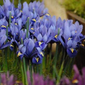 Iris Dwarf/Reticulata Harmony