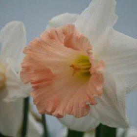 Daffodil Division 1 Trumpet British Gamble AGM