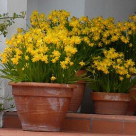 Daffodil Division 12 Miscellaneous Tete-a-Tete AGM