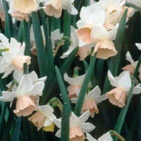 Daffodil Division 5 Triandrus Katie Heath