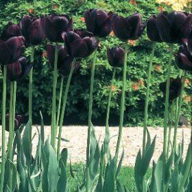 Purple Tulip Blend