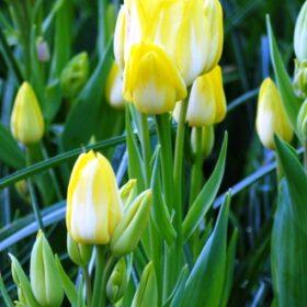 Tulip Multiflora Sunshine Club