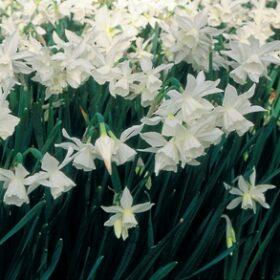 Daffodil Division 5 Triandrus Thalia