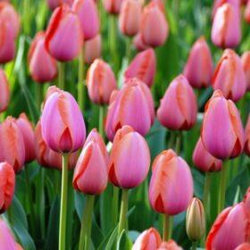 Tulip Darwin Hybrid Apricot Impression