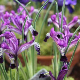 Iris Dwarf/Reticulata Spot On