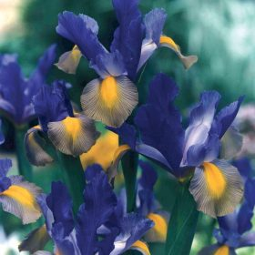 Iris Dutch Mystic Beauty