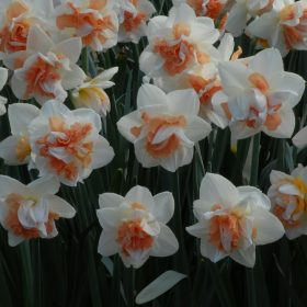 Daffodil Division 4 Double Daffodils My Story