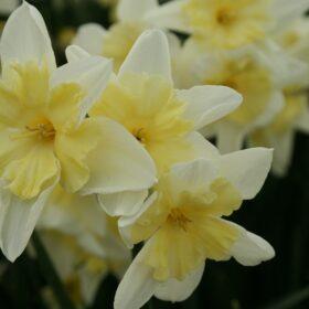 Daffodil Division 7 Jonquilla Prom Dance