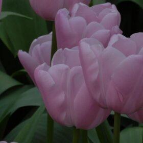 Tulip Single Late Pink Diamond