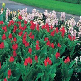 Tulip Specie praestans Fusilier AGM