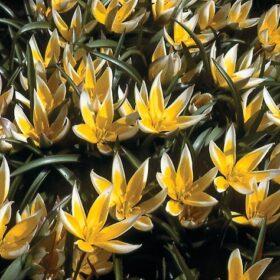 Tulip Specie tarda AGM