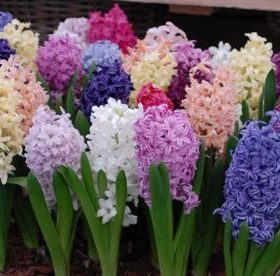 Garden Hyacinth Collection