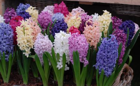 Garden Hyacinth Collection