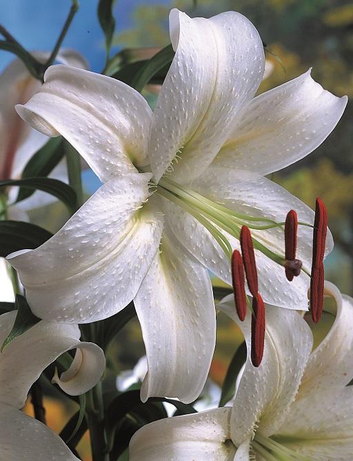 Lilium Casa Blanca AGM