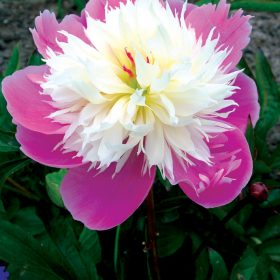 Paeony Bowl of Beauty AGM