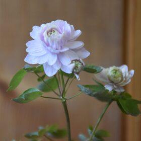 Anemonella spring symphony