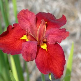 Iris Louisiana Ann Chowning