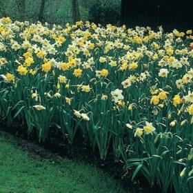 Platinum Mixture Daffodils and Narcissi
