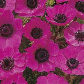 Anemone De Caen Sylphide (Pink)