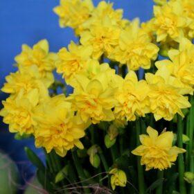 Daffodil Division 12 Miscellaneous Tete Boucle