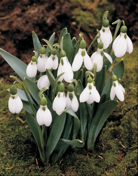 Galanthus elwesii AGM