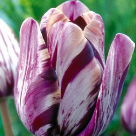 Tulip Rembrandt Insulinde