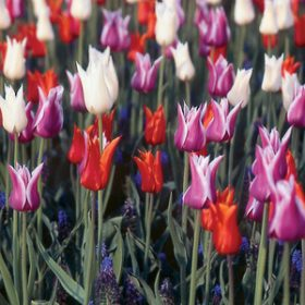 Tulip Lily Flowering Selection