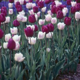 Tulip Purple and White Selection - 40 bulbs