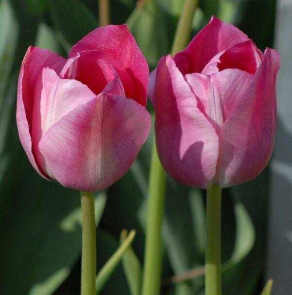 Tulip Breeder Rose des Dames