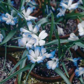 Tecophilaea cyanocrocus Leichtlinii AGM