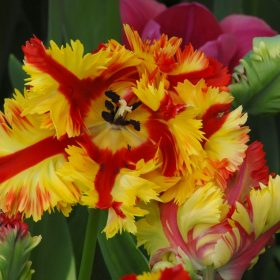 Tulip Parrot Flaming Parrot AGM