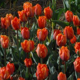 Tulip Triumph Hermitage