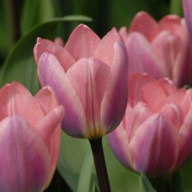 Tulip Darwin Hybrid Light and Dreamy