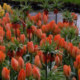 Tulip Orange Emperor and Fritillaria Rubra collection