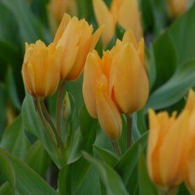 Tulip Specie praestans Shogun