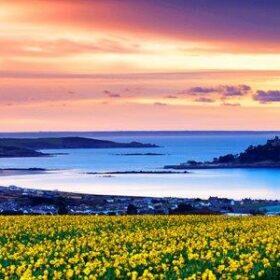 Cornish Mixed Daffodils 100 bulbs Top size